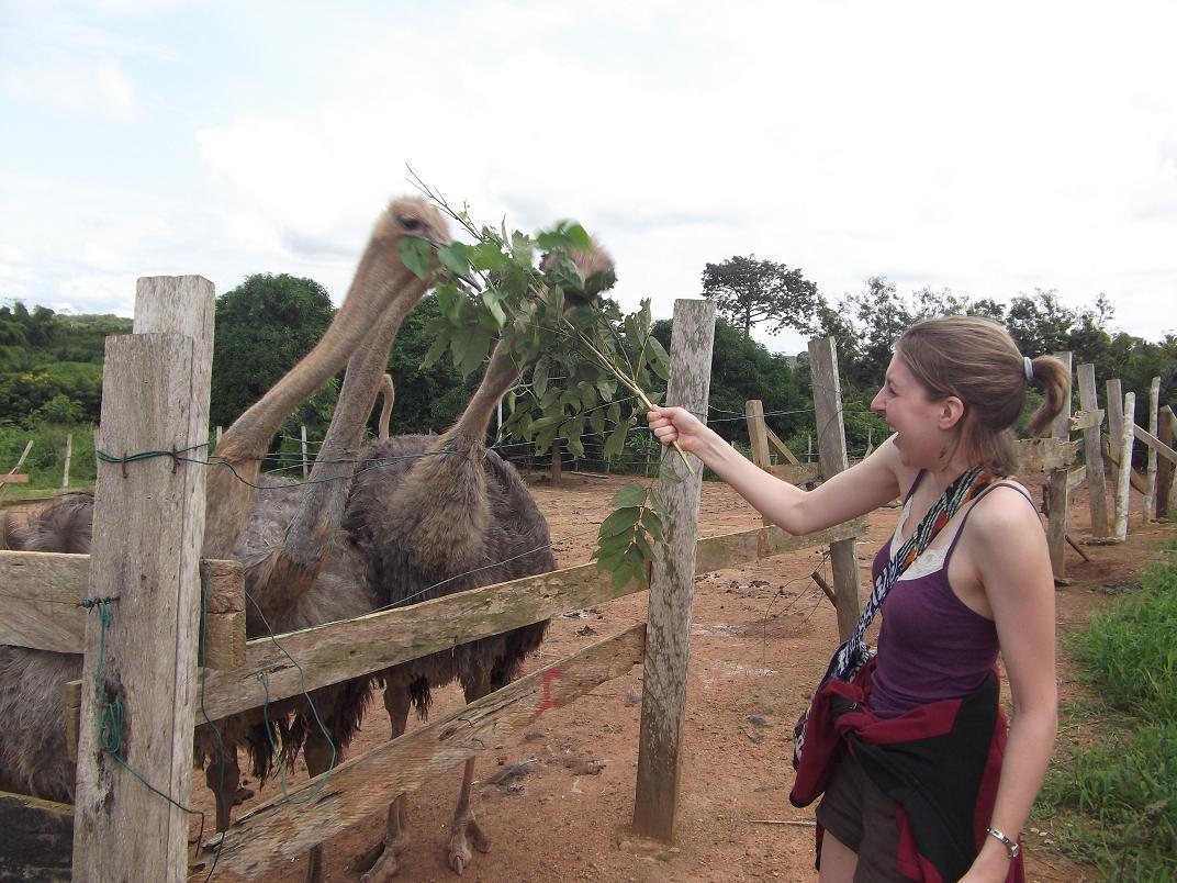 Ostriches in Ghana